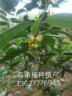 广西钦州金花茶 35cm以上