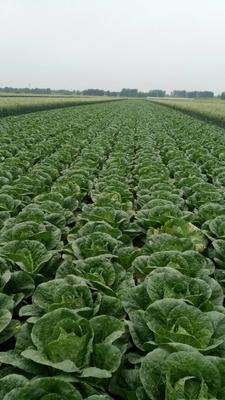 这是一张关于菊锦大白菜 3~6斤 毛菜的产品图片