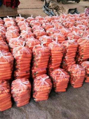 河南省开封市开封县黄胡萝卜 15cm以上 2两以上 4~5cm