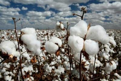 山东青岛进口棉花