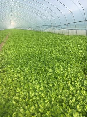 江苏省宿迁市宿城区美国文图拉芹菜 40~45cm 大棚种植 0.5~1.0斤