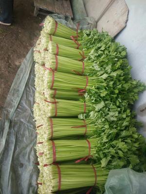 辽宁省盘锦市盘山县铁杆芹菜 50~55cm 大棚种植 0.5斤以下