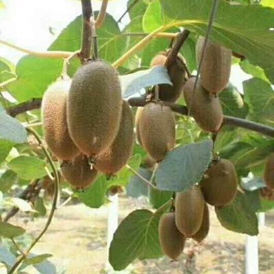 陕西西安猕猴桃 6两以上