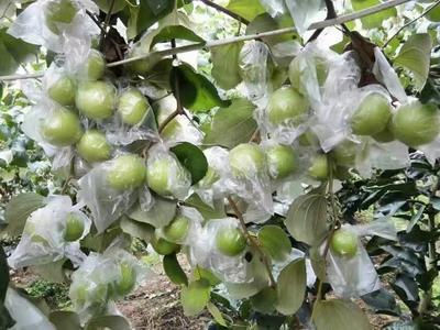 福建漳州苹果枣 直口 50g以上