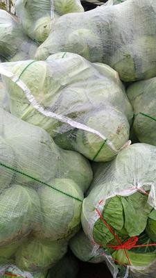 四川省凉山彝族自治州西昌市牛心甘蓝 1.5~2.0斤