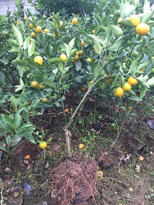 这是一张关于脆皮柑桔长安蜜桔 杯苗袋苗 0.35~0.5米 脆皮柑桔长安蜜桔南北方盆栽地栽苗带果发货的产品图片