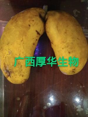 这是一张关于九月黄金蕉苗的产品图片