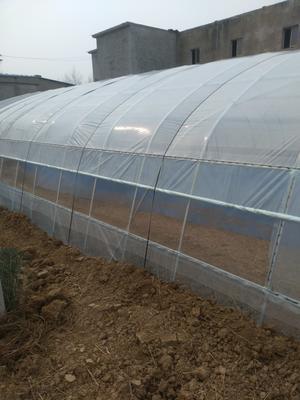 安徽亳州东亚钳蝎 国内领先的新型养蝎技术,塑料大棚蝎子养殖