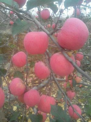 这是一张关于洛川苹果 纸袋 条红 80mm以上的产品图片