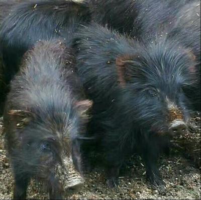 这是一张关于藏香猪猪苗的产品图片
