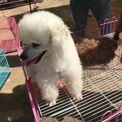这是一张关于萨摩耶犬的产品图片