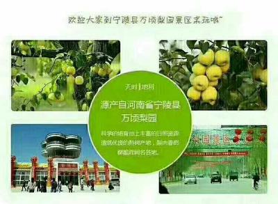 这是一张关于金顶谢花酥梨 250-300g 80mm以上的产品图片