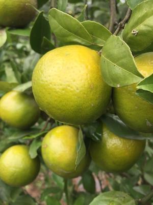 这是一张关于皇帝柑苗 嫁接苗 0.5~1米的产品图片