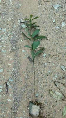 广西桂林金丝楠木