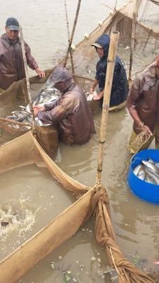 广东佛山南海区淡水银鳕鱼 人工养殖