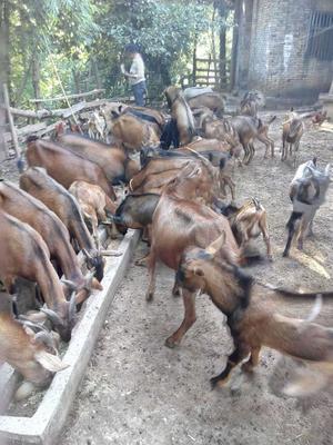 四川南充黑山羊 80-110斤 野生羊