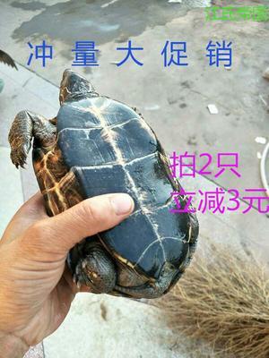 江西上饶中华草龟 50cm以上 2-4斤