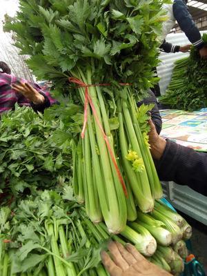 河南省开封市开封县皇妃芹菜 50~55cm 露天种植 1.0~1.5斤
