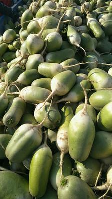 河南开封青皮萝卜 1~1.5斤