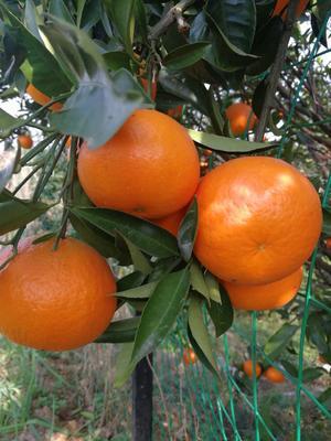 这是一张关于清江椪柑 6.5 - 7cm 2 - 3两 柑桔 清江椪柑的产品图片