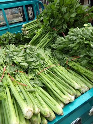 河南开封皇妃芹菜 50~55cm 1.0~1.5斤