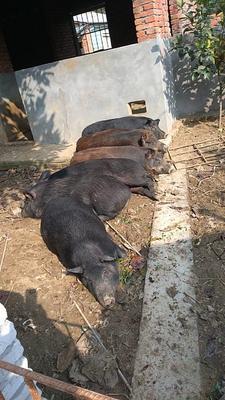 湖北荆州特种野猪 20-30斤 统货