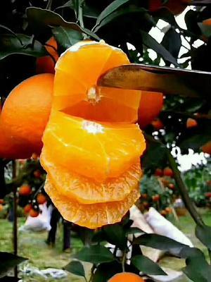 四川成都脐橙 70-75mm 4-8两