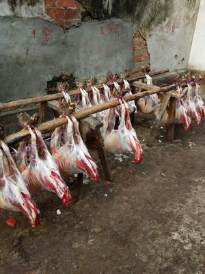 河南信阳湖羊 30-50斤