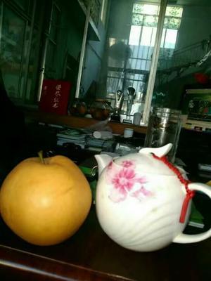 山东泰安岱岳区晚秋黄梨苗 0.5米以下 梨树苗