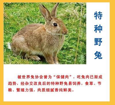 江西南昌杂交野兔 3-5斤