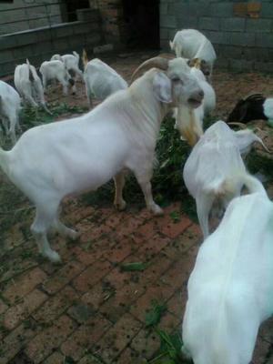 安徽宿州土山羊 30-50斤