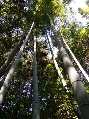 贵州黔东楠竹