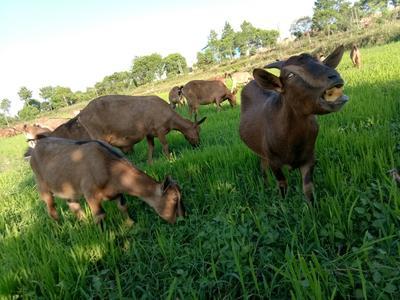 江西上饶南江黄羊 30-50斤