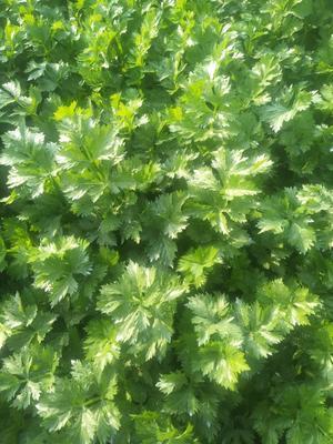 山东省济南市商河县美国文图拉芹菜 60cm以上 大棚种植 0.5~1.0斤