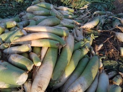 河北石家庄青头白萝卜 2.5~3斤