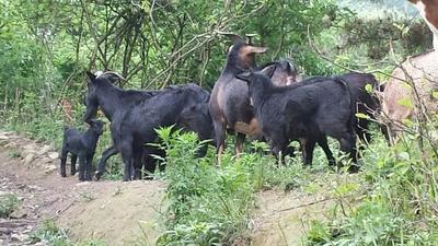 这是一张关于黑羊 50-80斤的产品图片