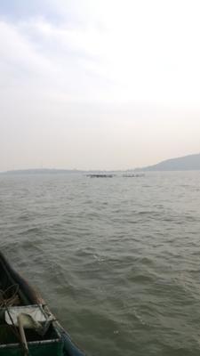 山东青岛黄岛区海鲈鱼 人工养殖 1-1.5公斤