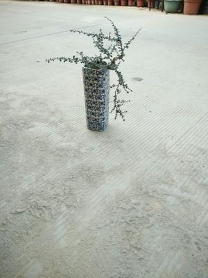 广东广州荆棘根盆景