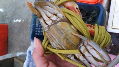 广东揭阳螃蟹 4.0两以上 母蟹