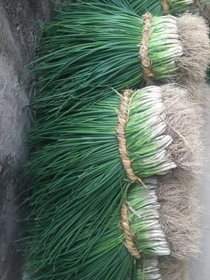 这是一张关于四季小葱的产品图片