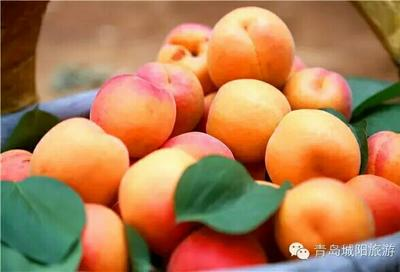 山东省青岛市城阳区麦黄杏 30-40mm