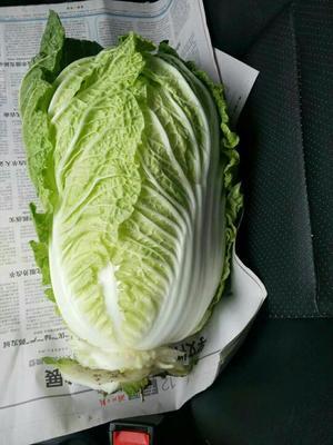 湖北省天门市天门市超级黄心菜