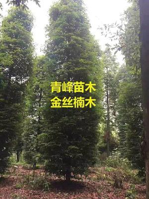 四川成都都江堰市金丝楠木