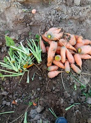 这是一张关于三红胡萝卜 10cm以下 2两以下 3~4cm的产品图片
