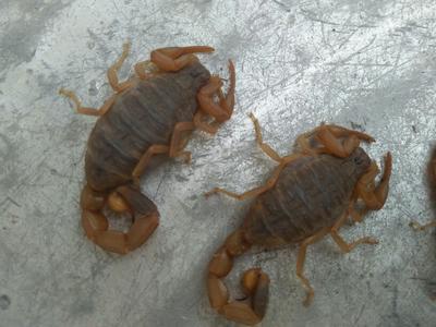 辽宁葫芦岛山蝎子