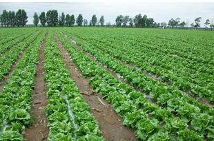 云南省昆明市呈贡区球生菜 1斤以上