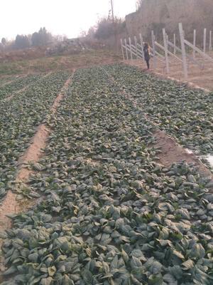 陕西渭南圆叶菠菜 15~20cm