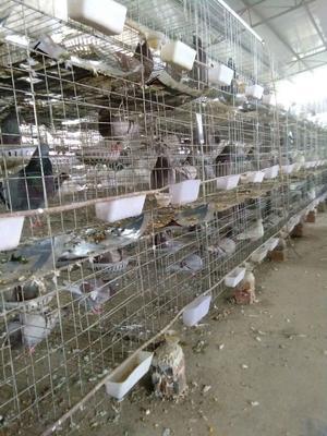 广西桂林临桂县乳鸽