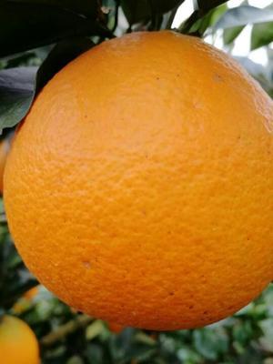 圆红脐橙  4-8两 70-75mm 一件代发招代理