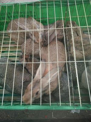 山东济宁公羊兔 3-5斤